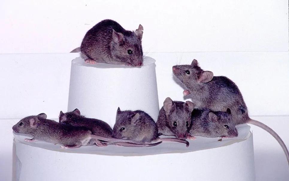 发丝宽度1/100、磁控导航,哈工大微纳米机器人首次实现小鼠脑瘤的主动靶向治疗