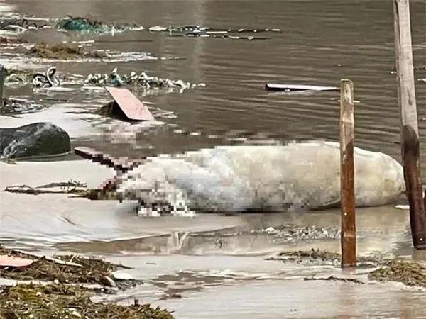 台湾沙滩现漂浮死猪,检测非瘟核酸阳性!