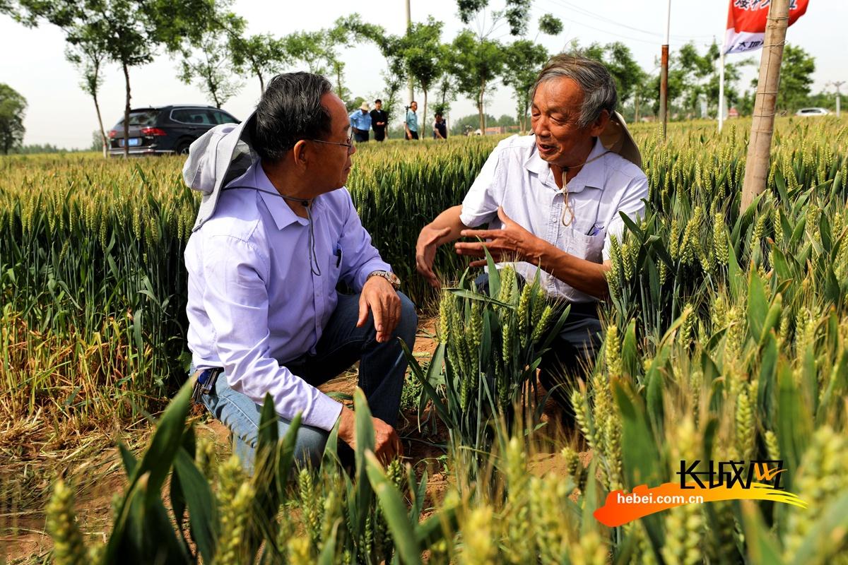 高清组图|河北魏县:专家走进试验田 高产小麦保增收