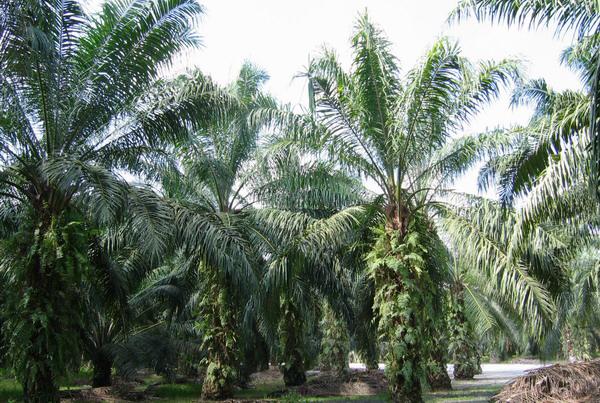 马来西亚棕榈油价格再创新高 达到每吨4502林吉特