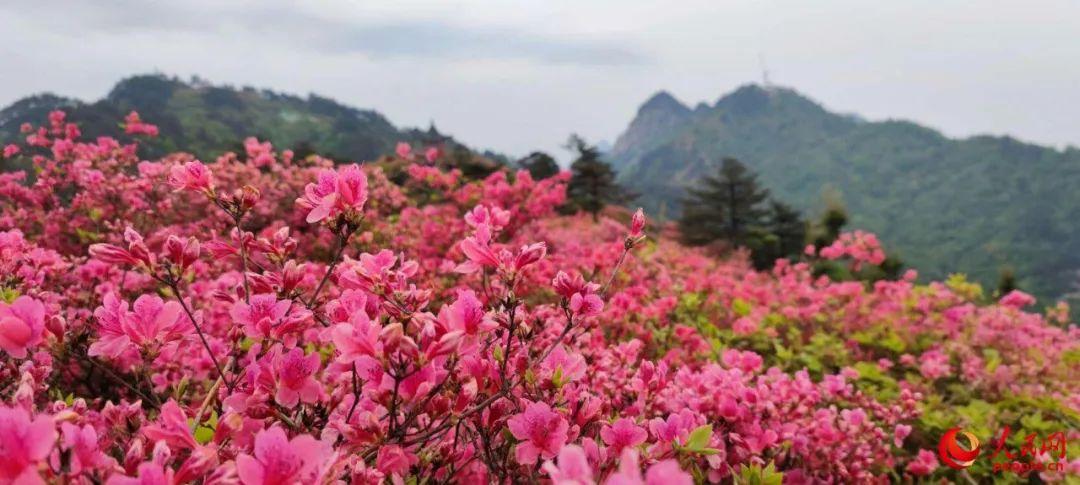 湖北省麻城市龟峰山风景区的十万亩连片杜鹃花绽放迎客。人民网记者余璐摄