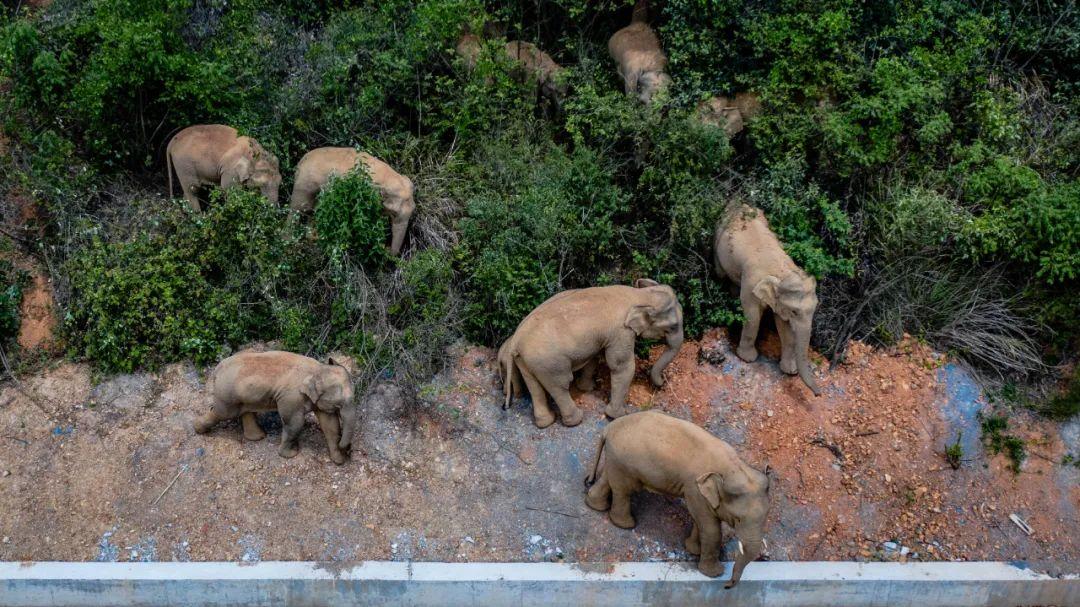 5月28日在云南省玉溪市峨山县境内拍摄的象群(无人机照片)