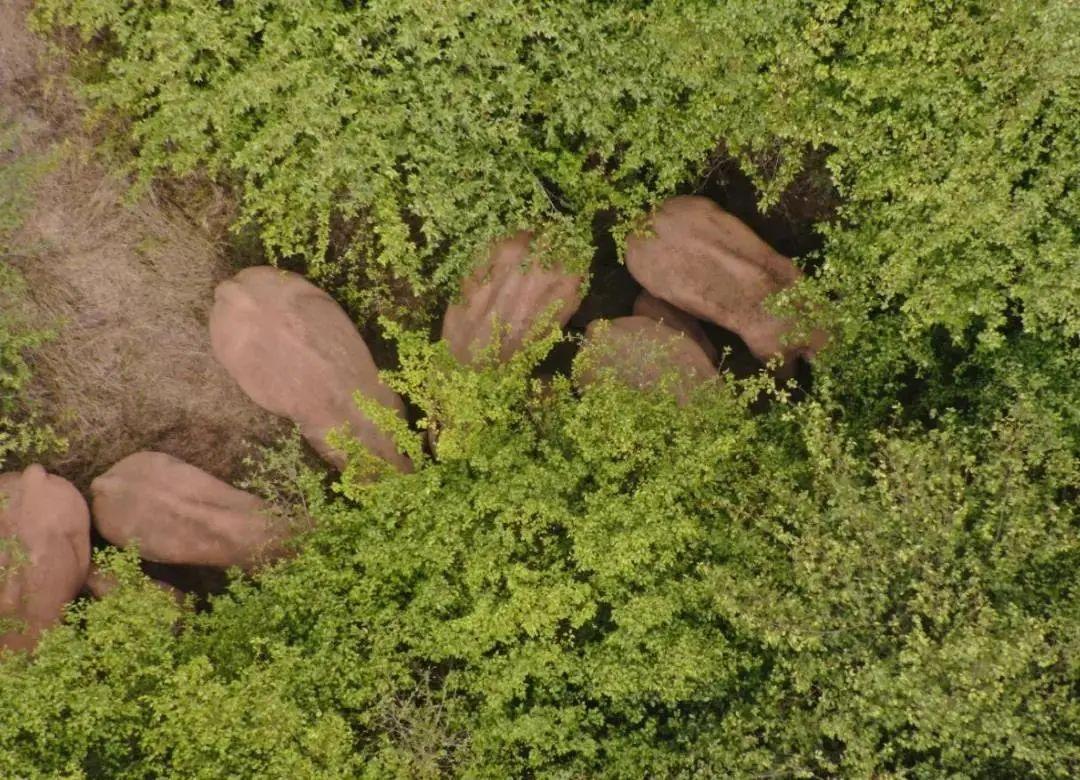 图片来源:北迁亚洲象群安全防范工作省级指挥部