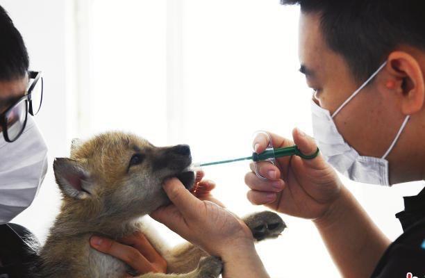 黑龙江完成国内首例未满月北极狼驱虫治疗插图