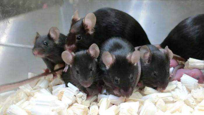 美国宇航局成功使用来自国际空间站的冻干小鼠精子使鼠卵受精