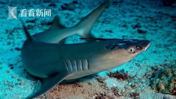 马来西亚鲨鱼患神秘皮肤病