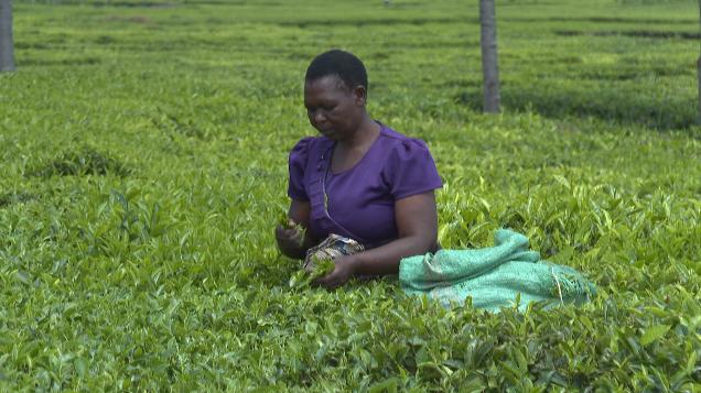 非洲观察丨肯尼亚:气候变化威胁茶叶生产