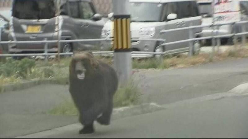一头棕熊在日本街头横冲直撞致4人受伤,被开枪打死