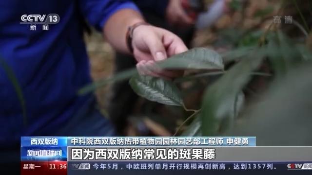 濒危植物新种多毛斑果藤保护工作正开展