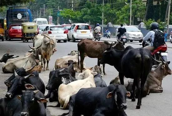 出大事了,印度一村庄800公斤牛粪被偷!