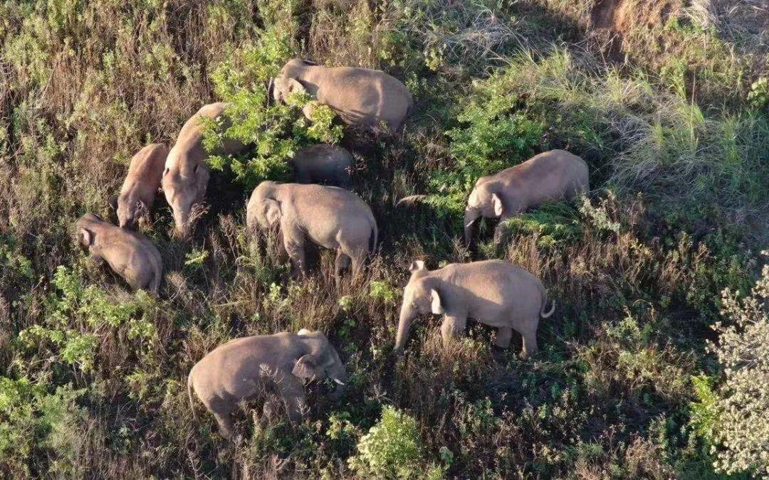 北上的象群,走到哪儿了