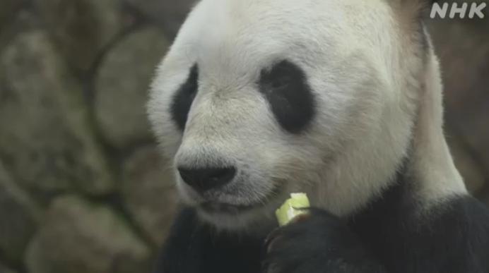 """旅日大熊猫""""永明""""喜获父亲节礼物 已有16个""""孩子""""(图)"""