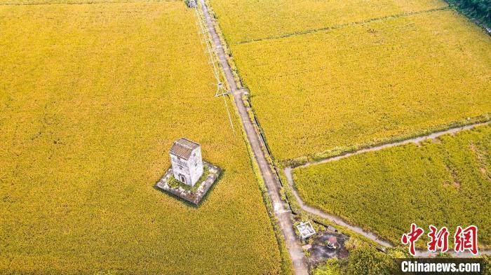 中山市南朗崖口村稻田丰收的美景 广东省自然资源厅供图