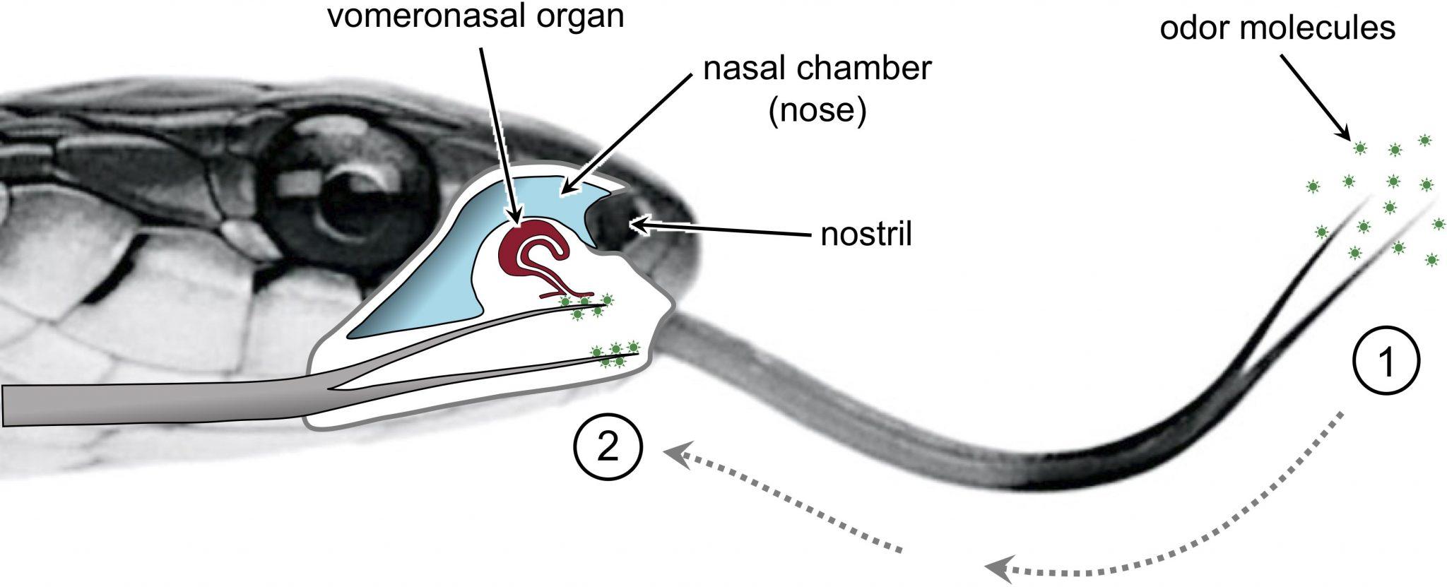 """研究:蛇的分叉舌头为其带来""""立体声""""嗅觉"""
