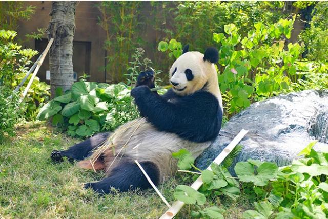 """旅日大熊猫""""真真""""产下双胞胎幼崽,当地期待借此提振经济"""