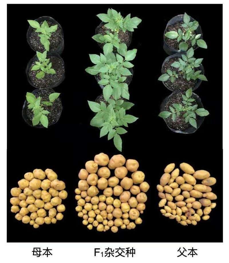 第一代全基因组设计的杂交马铃薯问世 用杂交种子替代薯块繁殖