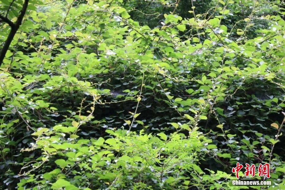 秦岭发现百岁野生猕猴桃树王:树杆蜿蜒盘旋犹如蟒蛇