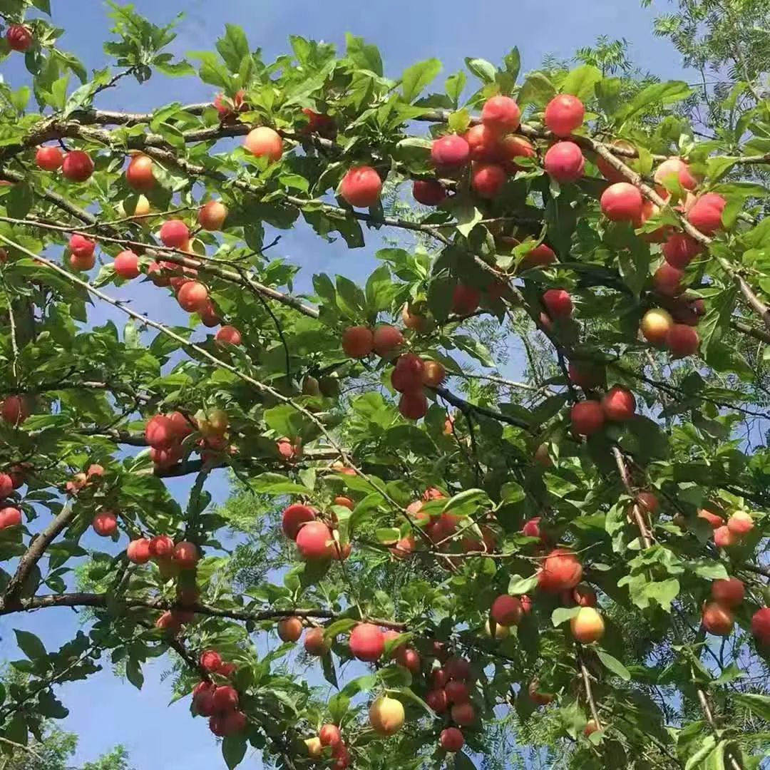 △除了桃树,梨树和李树也是硕果累累