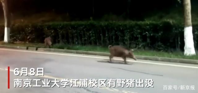 野猪现身南京工业大学校园 步履悠闲穿梭草丛树林中