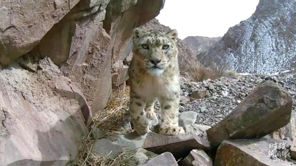 △出现在祁连山区的雪豹(资料图)
