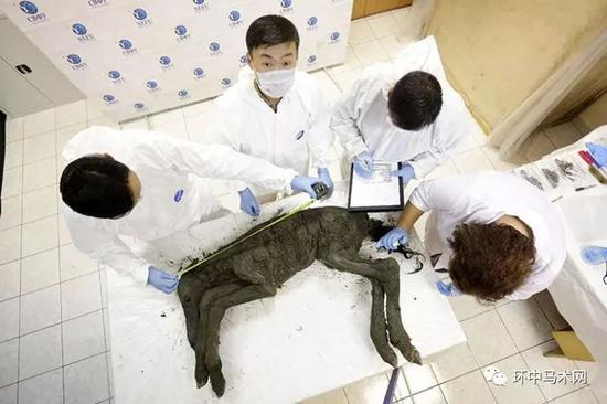 最古老血液!冻土中发现4.2万年前马驹,专家成功提取体内血液