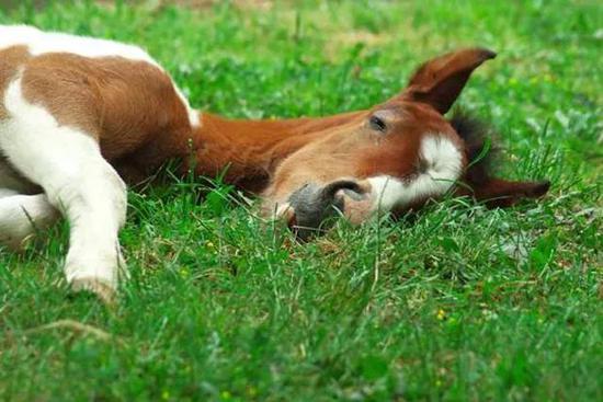 躺着睡觉的马
