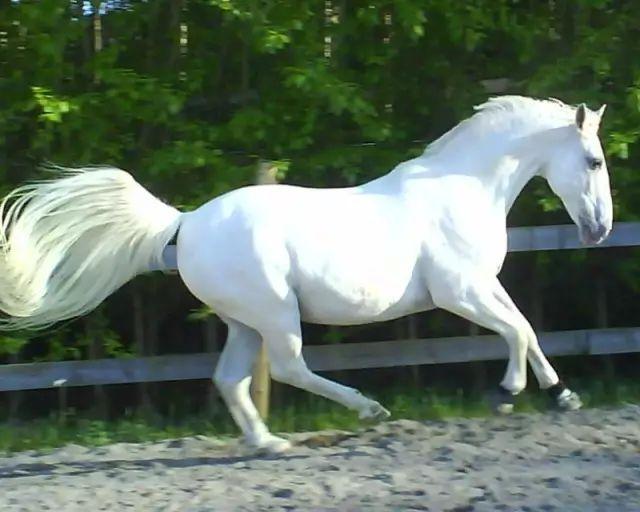 利皮扎馬:國家象征 優雅的馬中貴族圖片