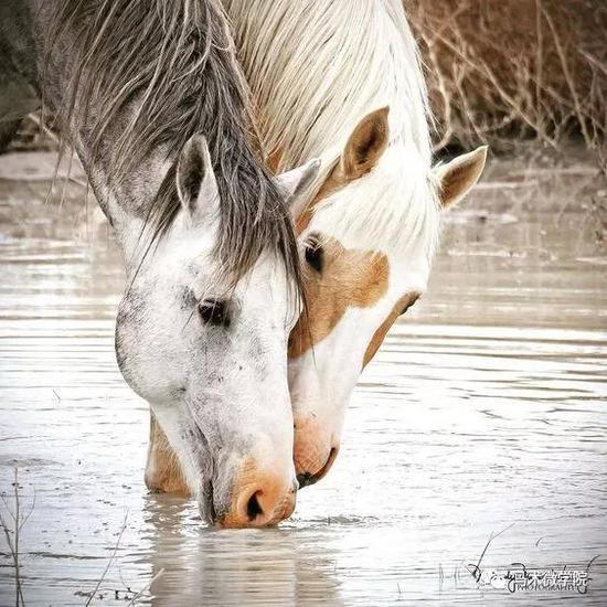 马儿在喝水