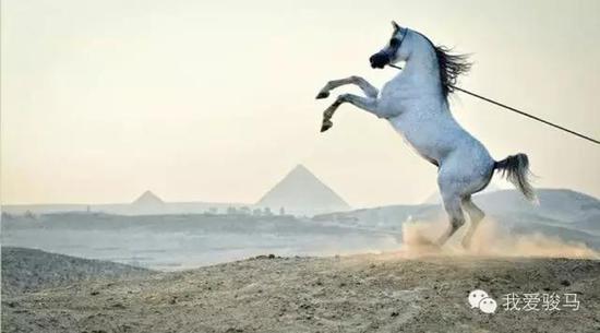 大漠名驹——阿拉伯马