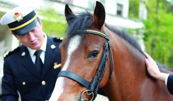拱北海关对6匹荷兰Pony马完成隔离检疫监管工作。