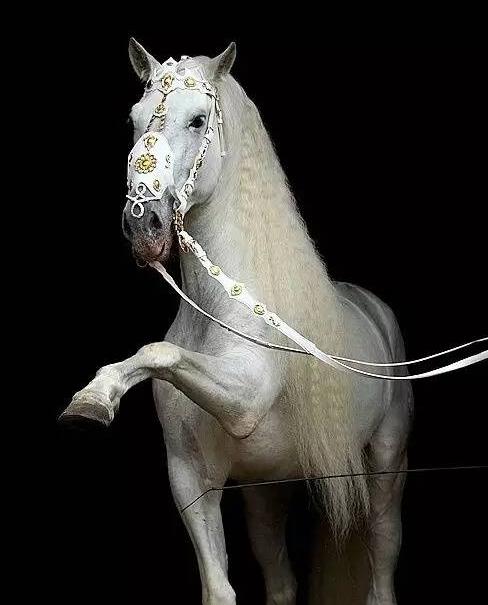 """安达卢西亚马图片_安达卢西亚马:眼大腿长 欧洲王室称其""""国王之马""""_综合体育 ..."""