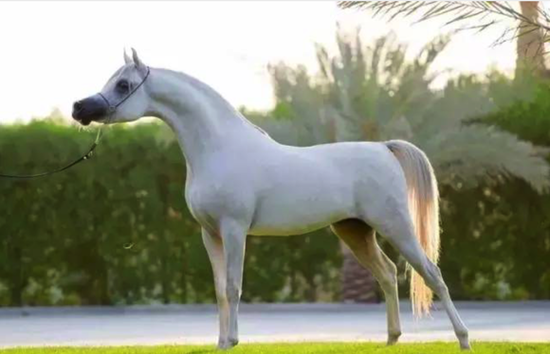 阿拉伯馬圖片
