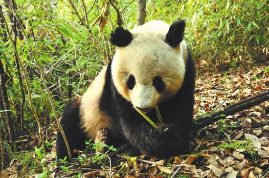 大熊猫 赵纳勋摄