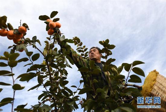 10月23日,陕西富平县曹村镇太白村村民在果园里收获柿子。新华社记者李一博摄
