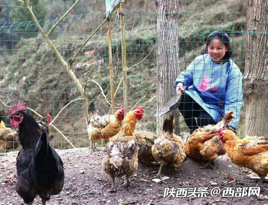 干完农活,陈金兰回家后的第一件事就是喂鸡。