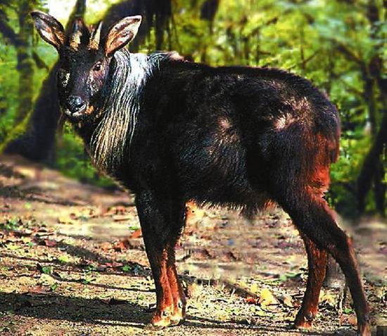 鬣羚 资料照片