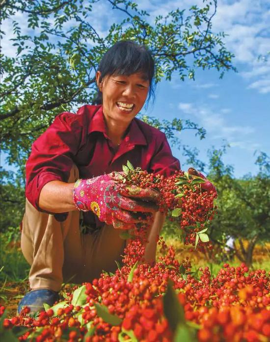 图为韩城市芝阳镇清水村村民正在采摘花椒。陕西日报记者 刘强摄
