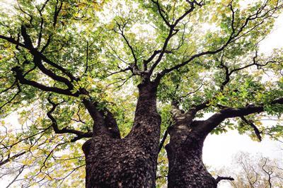 七叶树,秦岭北麓长安子午台沟村仅此一株,树龄逾千年