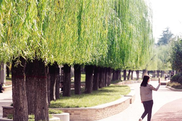 """雁鸣湖202棵柳树被剪成""""齐刘海"""" 为了来年更美"""