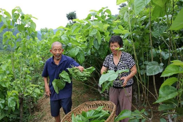 大山里的失独老人 老夫妻种桑养蚕 生活有保障