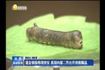 鎏金铜蚕再现西安 系国内第二件公开亮相藏品