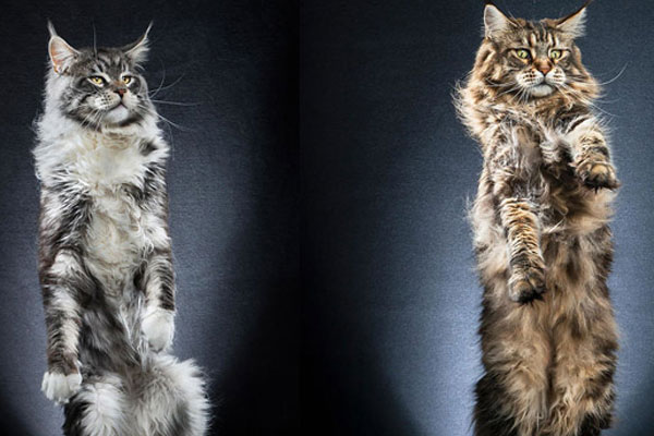 特立独行的猫 抓取猫咪站立瞬间表情