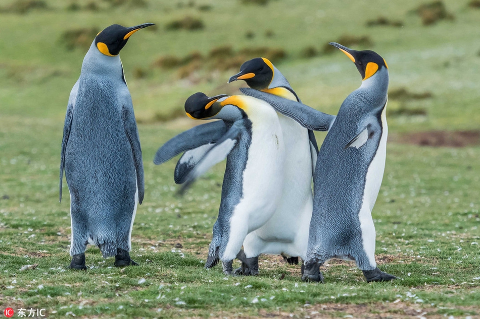 """國王企鵝為爭""""女友""""大打出手 互扇巴掌也是萌壞了!"""