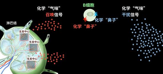 图中的B细胞有红色和蓝色两个不同的化学鼻子;红色的化学鼻子引导B细胞去生发中心,蓝色的化学鼻子引导B细胞去干扰信号那边