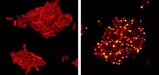 大肠杆菌被病毒侵入后表达着来自病毒的蛋白(红色)。细菌在生长时病毒处于静息状态,当病毒感受到细菌感应系统信号时,病毒转变成杀戮状态,另一种蛋白(黄)被转移到细胞极。图片来源文献。