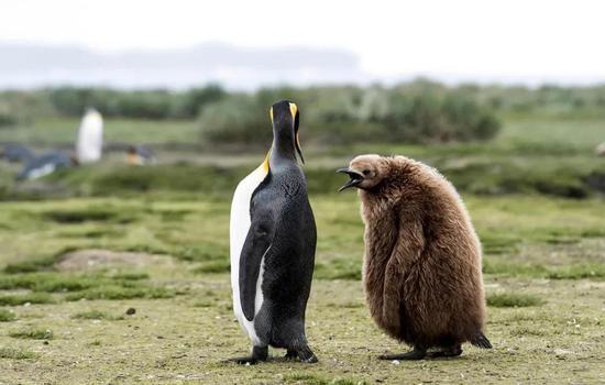 """南乔治亚岛上的成年王企鹅和雏鸟。王企鹅的外表与帝企鹅相似,但体型稍小,颜色更加鲜艳、嘴部更加细长,雏鸟看上去像个""""猕猴桃""""。来源:Renato Granieri/Alamy Stock Photo"""