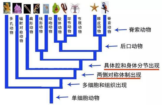 动物演化概略图,显示动物演化中的重要事件(图片来源:南京古生物所制作)