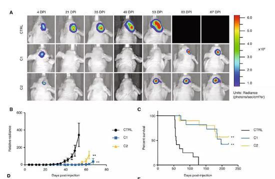 ▲敲除GABP-ß1L的肿瘤生长速度显著减慢(图片来源:《Cancer Cell》)