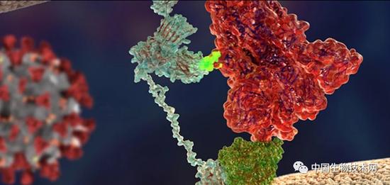 新冠病毒的S蛋白(红色)附着在NRP1蛋白(浅蓝色)上。图片来源:Giuseppe Balistreri