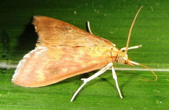 害虫玉米螟。图片来源:wikipedia